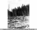 Downed trees, probably Vashon Island, n.d.
