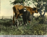 Oliver S. Van Olinda milking cow into cat's mouth, probably Whidbey Island, 1896