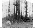 Landscape showing cows and trees, Vashon Island, 1891