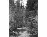 Mashel River from wagon bridge looking east, near Eatonville, August 18, 1899