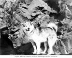 Malamute dog standing beside Benjamin S. Downing, possibly Circle City, ca. 1899