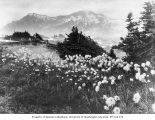 Wild flowers in the vicinity of Mount Rainier, 1888