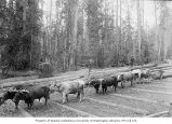 McDonald's logging camp showing team of oxen hauling logs over skidroad, near Kenmore, 1887