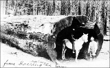 Man on horseback inside hollowed out log, Darrington, Washington, ca. 1911