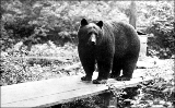 Bear, Snohomish County, Washington, ca. 1920