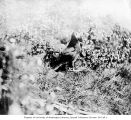 Tufted puffin at its burrow on Carroll Island, June 1907