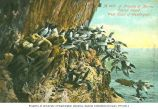 California murres on Carroll Island, 1907