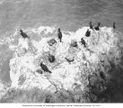 Cormorants nesting on Carroll Island, June 1907