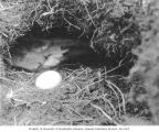 Petrel and egg in burrow on Carroll Island, June 1907