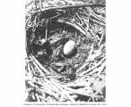 Brandt cormorant nest and young, Carroll Island, June 1907