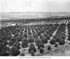 Orchard in the Wenatchee Valley, October 1920