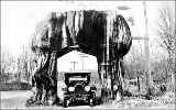 Automobile parked in cedar tree arch, Pacific Highway, Washington, ca. 1928