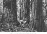 Unidentified man and boy standing among tree trunks in a Washington forest, ca. 1901