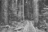 Sunset Copper Company tramway tracks through the woods near Index, Washington