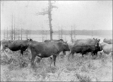 Jersey cattle on the Bash Farm at Oak Harbor, Whidbey Island, Washington, ca. 1895
