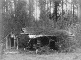 Fallen down cabin, probably the Olympic Peninsula, ca. 1925