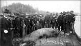 Crowd gathered to view dead sea lion, Ilwaco, Washington, May 5, 1896