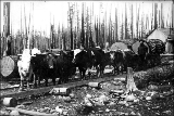 Hauling logs with team of oxen, Enumclaw, Washington, ca. 1878