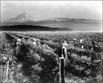 Berry picking, Puyallup Valley, Washington, ca. 1920