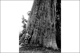 Man seated at trunk of large tree, Snohomish County, Washington, 1910