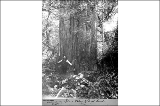Giant cedar vicinity Lake Whatcom, Washington, ca. 1895