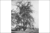 Cherry tree at Snohomish, Washington, 1910