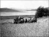 Harvesting wheat with horse drawn combine, Spokane County, Washington, ca. 1909
