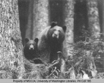 Black bear and cub, n.d.
