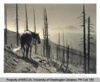 Horse on a trail at Corral Pass showing Mt. Rainier in background, n.d.